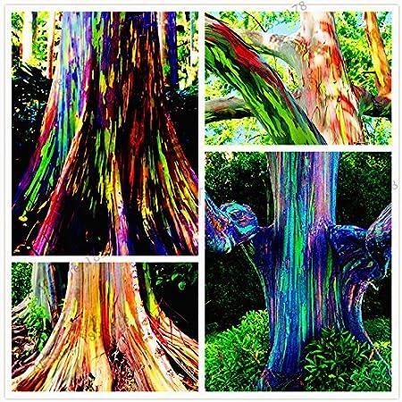 semillas 105pcs / bag raras Rainbow Eucalyptus deglupta, semillas de árboles tropicales llamativas, eucaliptos para la planta de jardín ornamental