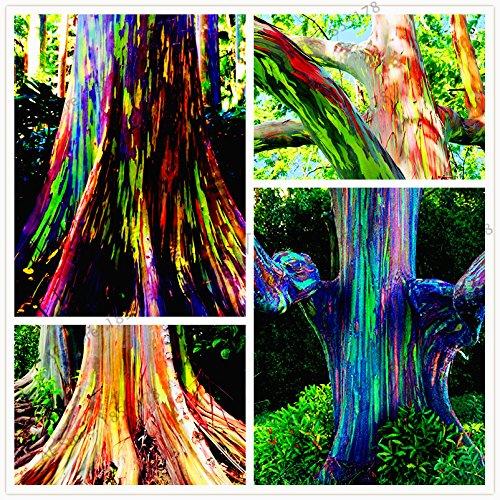105pcs/sac rares graines arc-en-Eucalyptus deglupta, les graines d'arbres tropicaux voyantes, d'eucalyptus pour plante ornementale jardin