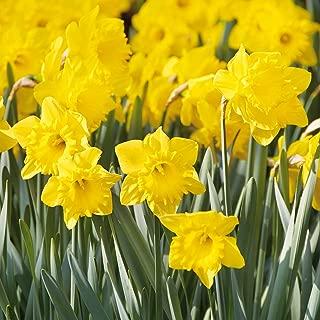 Van Zyverden Daffodils Dutch Master Set of 15 Bulbs