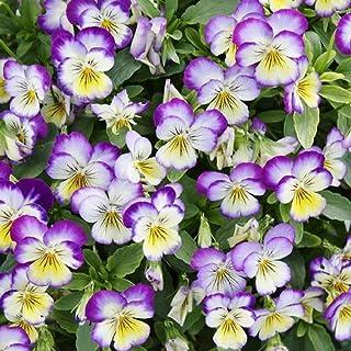 David`s Garden Seeds Flower Viola Johnny Jump Up (Helen Mount) SL2424 (Multi) 500 Non-GMO, Heirloom Seeds