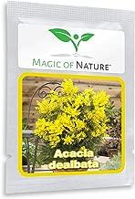 Silver Wattle Mimosa Tree 25 Seeds - Acacia dealbata - cultivable as Bonsai or Tree in The Garden