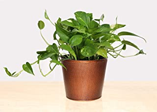 Live Golden Potho with Studded, Bronze Plated Gift Container- 6 Inch Indoor Plant