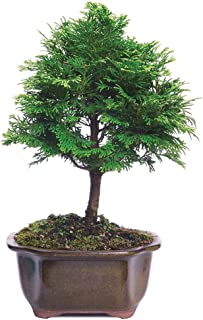 Best japanese false cypress tree Reviews