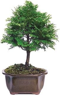 hinoki cypress bonsai for sale