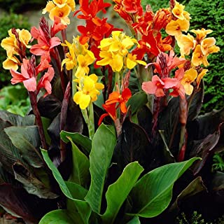 HOT - Canna Indica - 8 Seeds - Mixed Colours - Indian Shot - Tropical - UP to 6,5 FT!
