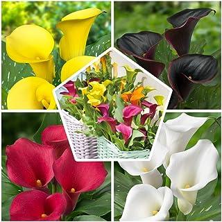 10 x Calla Lirios de cebollas, colección de 5 variedades, 2 de cada color, 10 cebollas, ideal como maceta y jardín, mezcla...