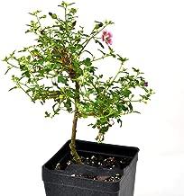 Plant Starter Bonsai Anisodontas hypomondarum, Dwarf Hibiscus - AB009