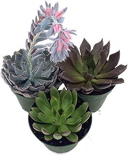 3 Different Desert Rose Plants - Echeveria - Easy to grow/Hard to Kill! -3