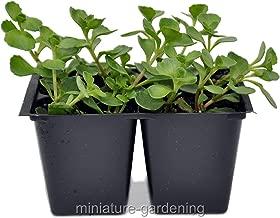 Raflesa Sedum spurium John Creech, Ground Cover, Pack of 4 Plants