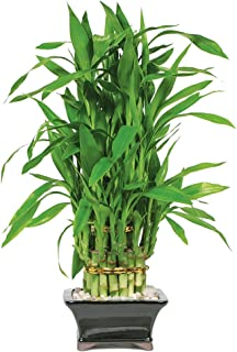 Brussel's Live Lucky Pyramid Bamboo - 3 Layer - 3 Years Old; 14