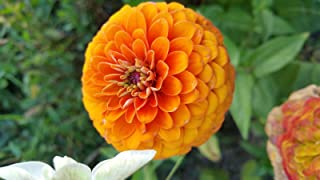 Best zinnia elegans dahlia Reviews