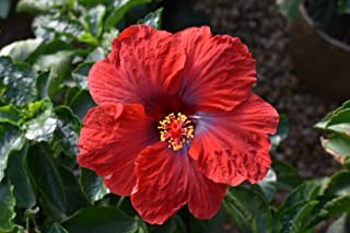 Sandys Nursery Online Hollywood Hibiscus Flower, Hot Shot, 4 Inch Pot