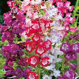 HOT - BEARDTONGUE - PENSTEMON - Sensation Mix - 12 000 Seeds - Perennial Flower