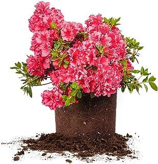 Perfect Plants Red Ruffles Azalea Live Plant, 1 gallon, Includes Care Guide