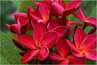 Hawaiian Red Ula`ula Plumeria (Frangipani) Plant Cutting....Shipped from HAWAII from a PEST-FREE certified Hawaiian nursery with the proper U.S. Department of Agriculture stamp.