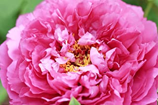 Best chinese tree peony Reviews