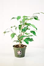 Pacific Tropicals and Succulents- Ficus Benjamina- Ships in 4 inch Grow Pot-Homegrown