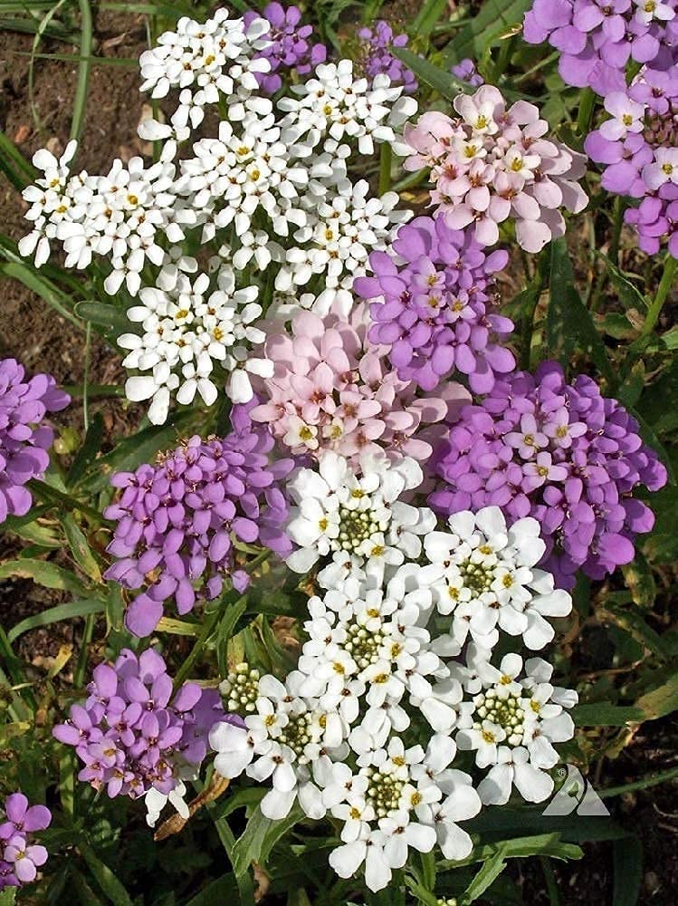 David's Garden Seeds Flower Candytuft Annual 6967 (Multi) 100 Non-GMO, Open Pollinated Seeds