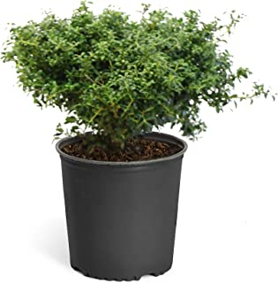 Brighter Blooms Soft Touch Holly Shrub in a 3 Gallon Pot | Dense, Soft-Textured Evergreen | Dark Green Foliage | No Shipping to AZ