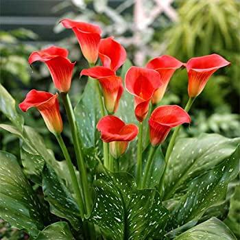 Feriay 100pcs Calla Lily Seeds Rare Flower Seeds Bonsai Potted Plant Perennial Flowers Flowers