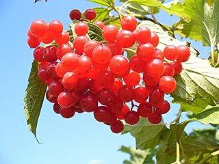 20 American Highbush Cranberry Viburnum Trilobum Red Fruit Shrub Fruit Seeds #SFB