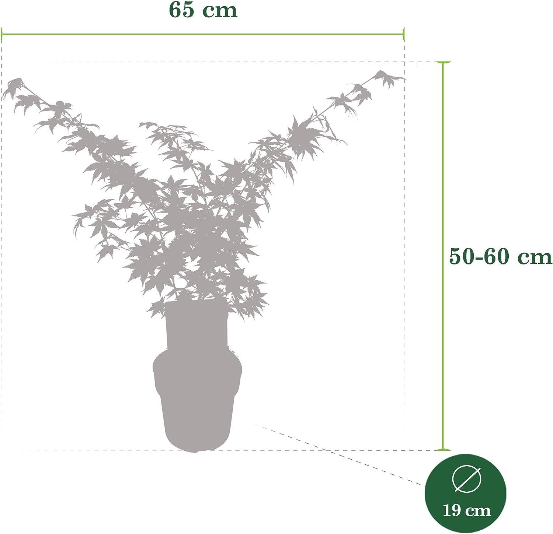 Ahorn PalmatumGoing Green Winterhart Japanischer F/ächer-Ahorn Topfgr/ö?e /Ø13cm Lieferh/öhe 25-30cm