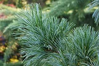 Best dwarf blue pine Reviews