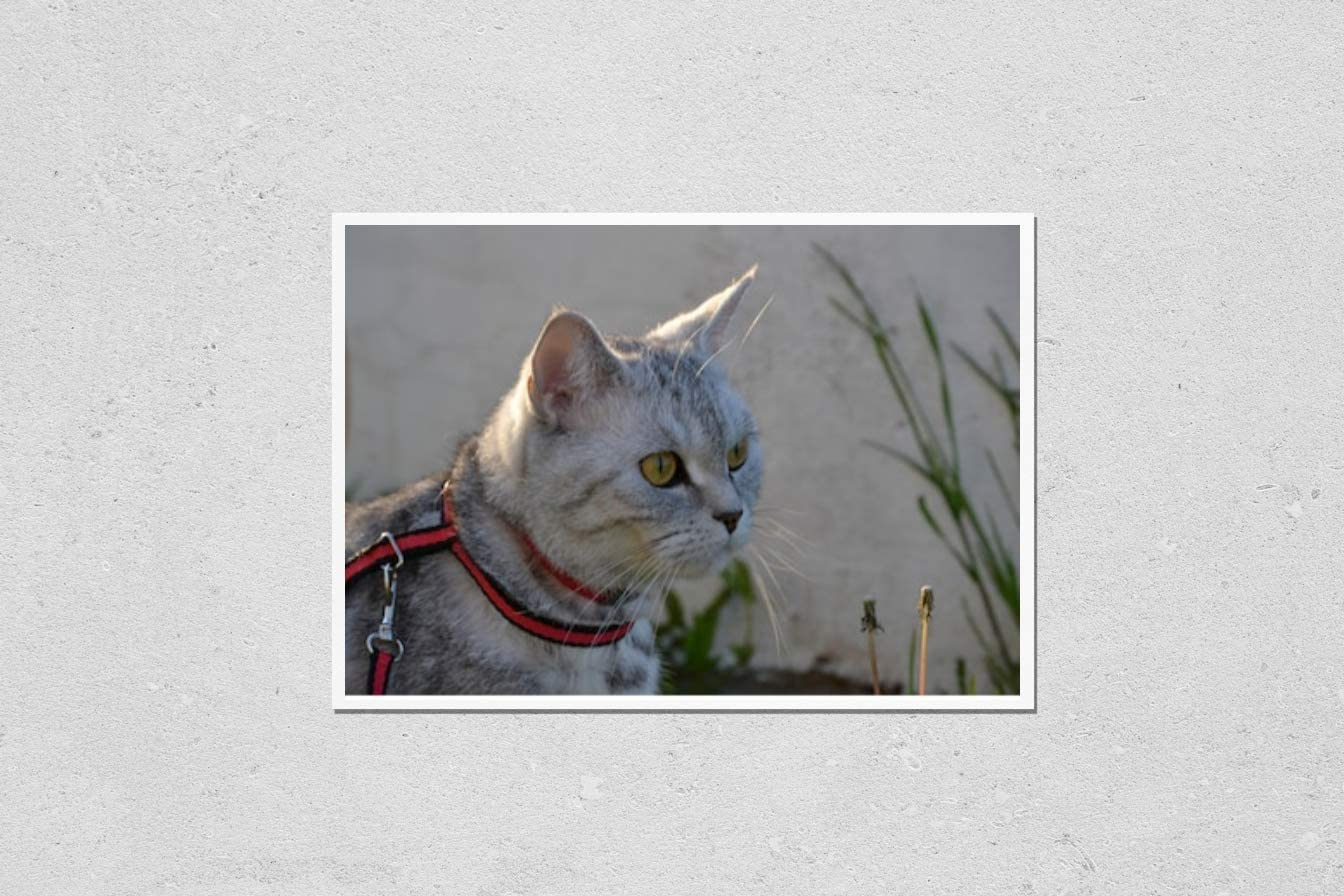 KwikMedia Poster Reproduction Limited time trial price of Very popular! Cat. Scottish Straight Purebred
