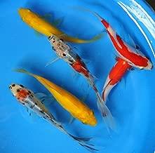 4-5 inch 6 Pack Mixed Live sarasa, shubunkin, Yellow Comet Goldfish for Aquarium Fish Tank or koi Pond