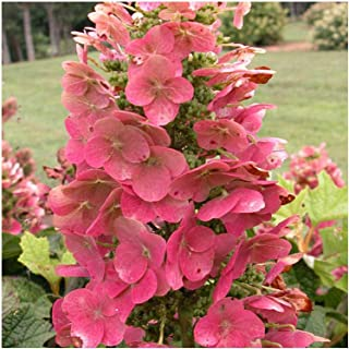 Ruby Slippers Oakleaf Hydrangea - Live Plants Shipped 1 to 2 Feet Tall by DAS Farms (No California)