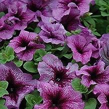 40 pc Petunia Sugar Daddy Flower Seeds (Petunia X hybrida)
