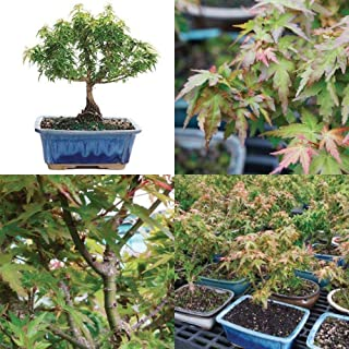 Best kotohime maple bonsai Reviews