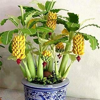 Lonlier Semillas de Plátano Mini Semillas Banana Enano Bonsai Semillas Fruta Arboles Raras para Huerto, Jardin, Balcon Interior