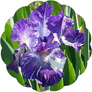 Stargazer Perennials Bearded Iris - GNU Again 1 Large Rhizome - Ruffled Tie Dye Purple and White Flowers - Easy to Grow Perennial Iris Bulbs for Fall Planting
