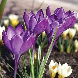 spring flower bulbs for sale