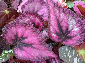 Begonia - RED Robin - 1 Live Plant - 4