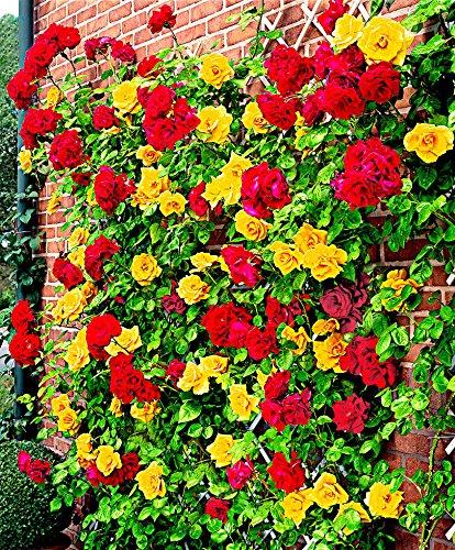 Rosa rampicante 'Spanish Flag'-cad.-Arbusti