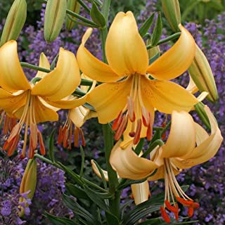 Pearl Stacey Asiatic Lily (5 bulbs) Pots and Planters,Cut Flowers. Perennial