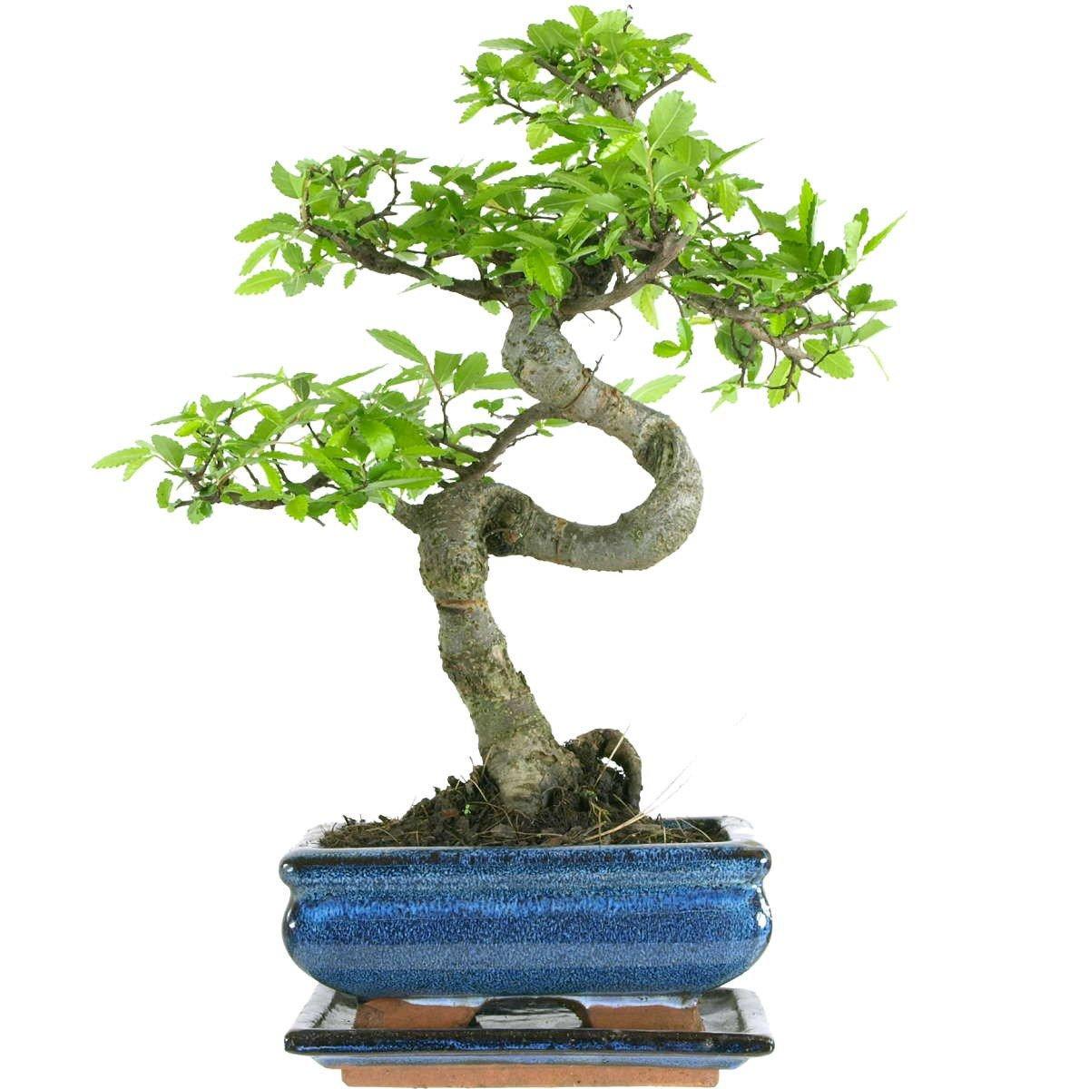 18cm Pot Indoor Bonsai Tree Gift Set Medium Sized Chinese Elm Bonsai