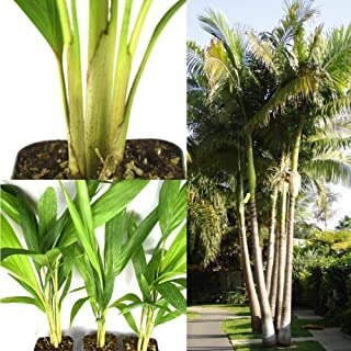 20pcs Palm Seeds King Alexander Palm Seeds Rooted Potted Triple Tall Drought Resistant Plant Easy to Grow Ready for Planting