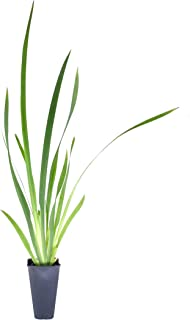 African Iris White - 15 Live Plants - Drought Tolerant Blooming Ornamental Grass