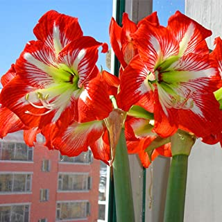 star of barbados plant