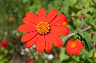 50 Fiesta Del Sol Seeds / Tithonia Rotundifolia / Torch / Mexican Sunflower Plant