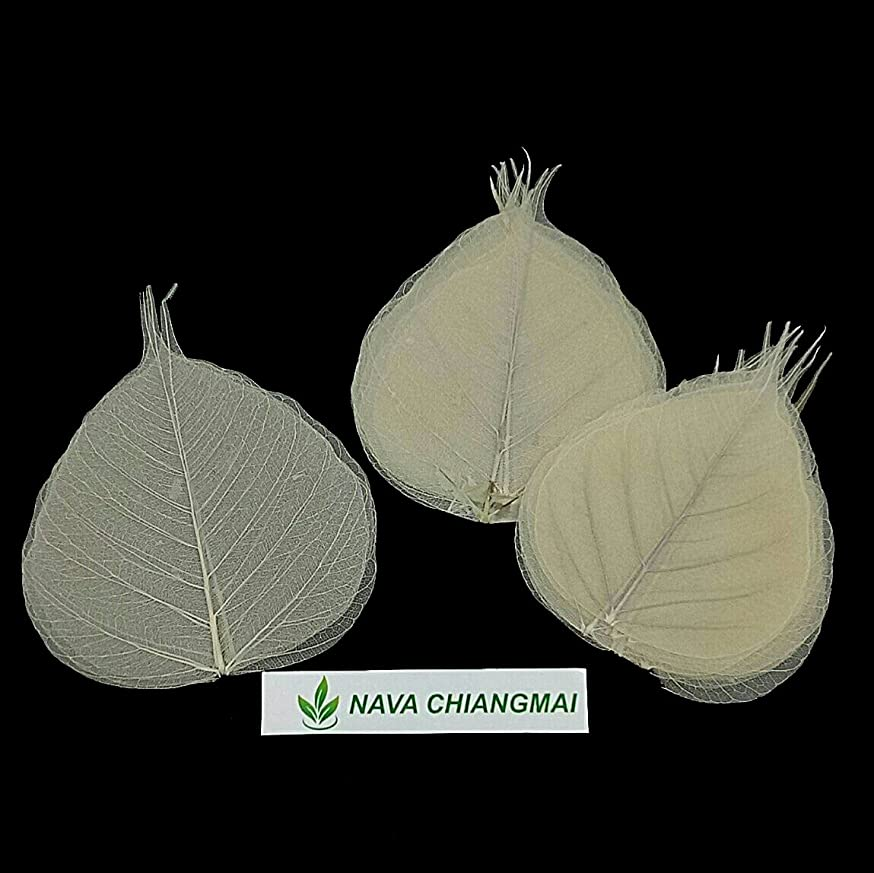 NAVA CHIANGMAI Skeleton Natural Ficus Religiosa Leaves Artificial Leaves Craft Card Scrapbooking DIY Embellishment Decoration Art Greeting Cards Wedding Gifts Seasonal Gift (Natural Color)