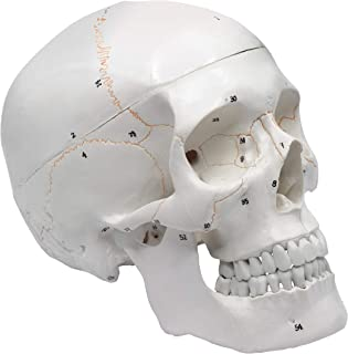 Numbered Human Adult Skull Anatomical Model, Medical Quality, Life Sized (9