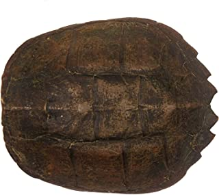 Real Snapping Turtle Shell 8