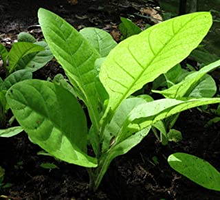 tobacco rustica seeds