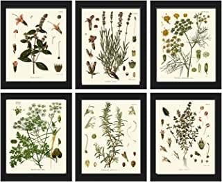Herbs and Spices Botanical Set of 6 Prints Antique Beautiful Peppermint Lavender Fennel Parsley Rosemary Thyme Home Room D...