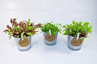 comprar comparacion Kit de plantas Hoja Baby (Acelga, Remolacha y Rúcula) - Cultiva tus hojas para ensalada en tu huerto urbano - Ideal para r...