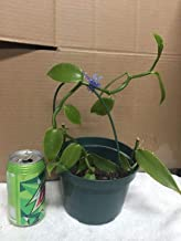 vanilla bean plants for sale